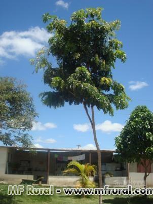 Pau Brasil 4 metros