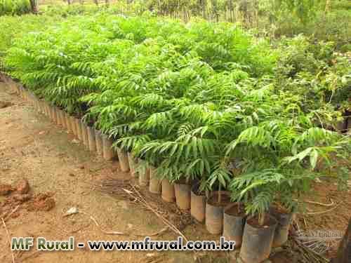 Mudas de árvores NATIVAS para REFLORESTAMENTO 1,20 a 1,80 metro