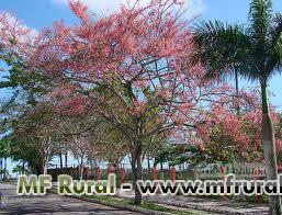 CANAFISTULA -  Cássia-rosa – Cassia grandis