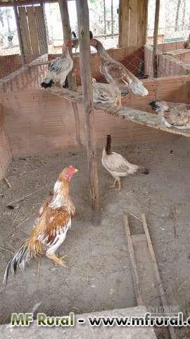 Ovos e galos Combatentes Shamo