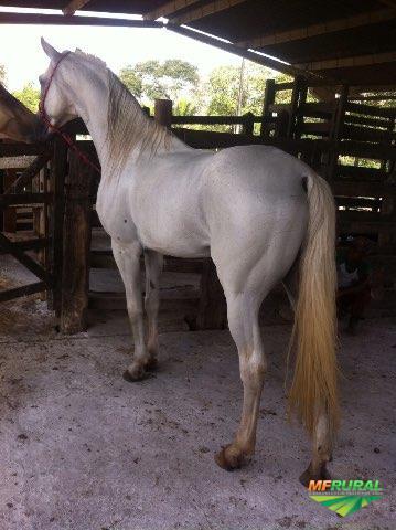 Cavalo Garanhão Marcha Batida