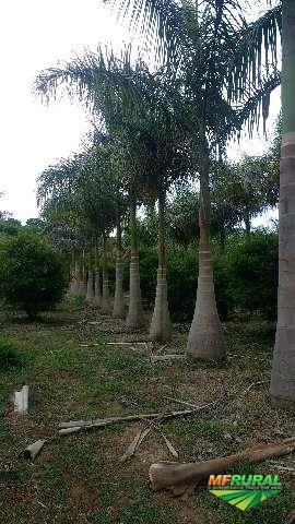 Mudas nativas pioneira e não pioneira  e jardinagem e transpante de árvores adultas