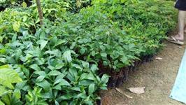 Mudas Nativas, frutíferas, ornamentais e serviços de reflorestamento