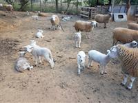 Vendo Ovelhas Texel Paridas e Prenhes - Região de Tatui SP