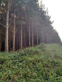 Fazenda de Pinus