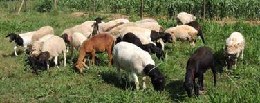 Reprodutores e Matrizes Dorper PO (registrados) - Borregas Mestiças para Reprodução