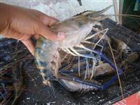 Pós Larva e Juvenil de Camarão Gigante Malásia/lagostim 1 Milheiro (Alevinos)