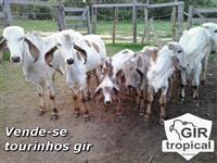 Vende-se tourinhos Gir PO sangue Krishnna com RGN