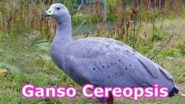 GANSA FEMEA CEREOPSIS