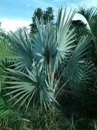 Palmeiras Ornamentais - Brasil Palms - Palmeiras Adultas - Paisagismo Tropical