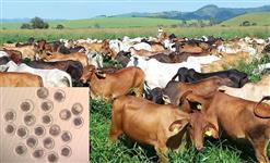 Vacas receptoras de preferencia Cruzadas