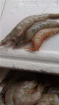 Camarão fresco e congelado cinza, branco, sete barbas e rosa