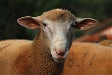 Borregos Poll Dorset à Venda