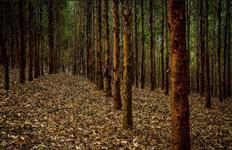 Floresta de eucalípto