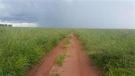 Semente de Brachiaria Brizantha cv. marandú (Brachiarão), Rozizzienses e Mombassa.