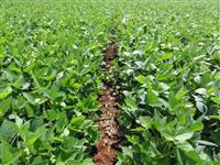 Fazenda de 442 hectares de área total plantando 390 hectares e mais 268 hectares toda em lavoura