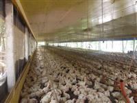 Granja de frango para recria (2 aviários)