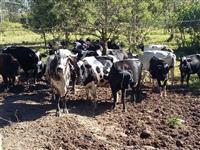 25 vacas de leite   3/4 e um touro gir registrado