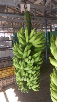 Banana prata de 1°