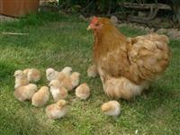Ovos Galinhas Raça Pura Orpington
