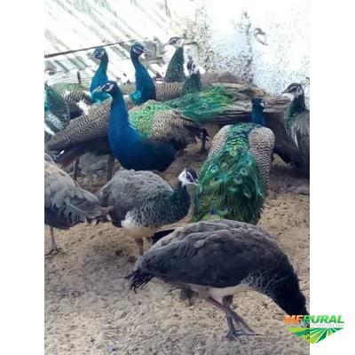 Pavões disponível Azul , Branco , Arlequim , Ombros Negros , Verde