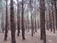 Fazenda com Reflorestamento de Pinus