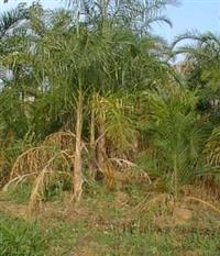 Vendo Plantação de Gueroba