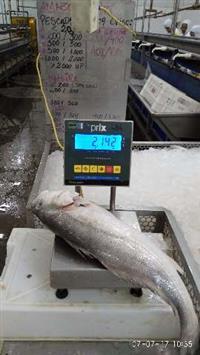 Bucho ou grude de peixe