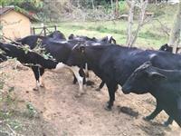 Vacas girolando alto padrão