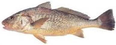 vendo Produção de peixe - pescada amarela, pescada branca, pescada corvina, uritinga , go, cara açu