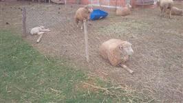 Vendo ovelhas para matriz