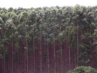 Madeira de Reflorestamento de eucalipto UROGRANDIS