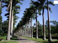 Palmeira imperial adulta e