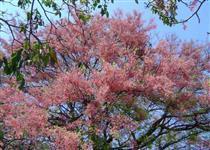 Canafístula ou Cássia rosa / Cássia grande. Árvore adulta , médio e pequeno porte.
