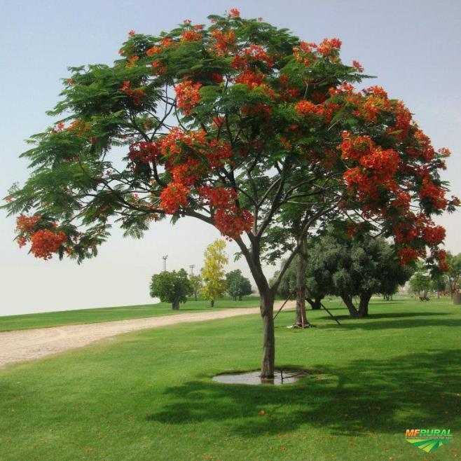 FLAMBOYANT - de 3 a 8 METROS - COPA FORMADA - PRONTA ENTREGA - disponibilizamos PLANTIO e MANUTENÇÃO