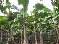 Banana Prata/Terra