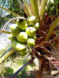 O melhor coco verde do Brasil.