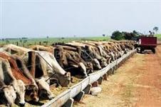 Venda de Vacas e Novilhas