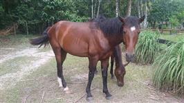 Cavalo Luzitano