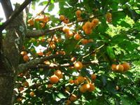 Frutiferas (Ja Produzindo