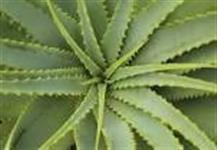 Venda de Aloe Vera - Babosa