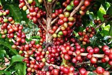 Fazenda de Café em Catalão-GO