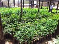 mudas para reflorestamento e adubo orgânico de babaçu