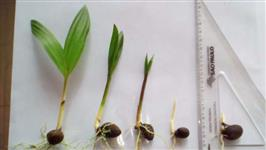 PLÁNTULAS DE PUPUNHA (Bactris gasipaes.)