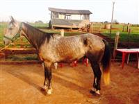 Cavalo Quarto de Milha Tordilho