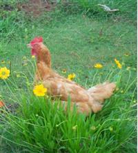 vendo frangos e galinhas caipira
