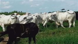 16 novilhas de cria e um boi nelore