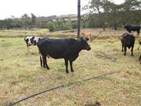 vacas girolanda