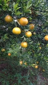 Tangerina montenegrina e laranjas