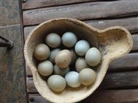 ovos de faisão coleira e versicolor